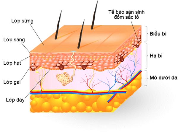 Cấu tạo da mặt, nám da thường xuất hiện ở lớp hạ bì - bị nám da mặt phải làm sao