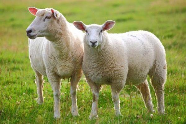 Nhau thai cừu là một trong những thành phần chưá khá nhiều chất dinh dưỡng